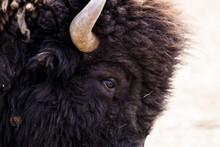 Closeup Shot Of Brown Steppe Bison