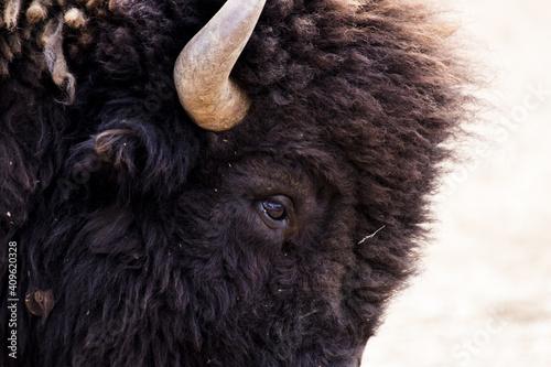 Obraz na plátně Closeup shot of brown steppe bison