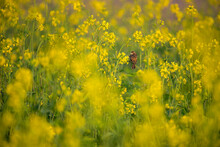 The Mustard Plant Is A Plant Species In The Genera Brassica, Bird In The Mustard Fields