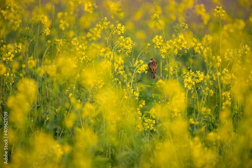 Fotografia The mustard plant is a plant species in the genera Brassica, bird in the mustard