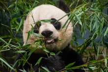 Panda Snacking On Bamboo