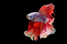 Movement Power Of Betta Fighting Fish Over Isolated Black Background. The Moving Moment Beautiful Of Grey And Orange Siamese Betta Fish With Copy Space.