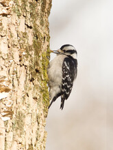 Selective Focus Of A Downy Woodpecker (Dryobates Pubescens) Pecking On The Tree