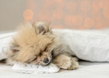 Cozy Pomeranian Spitz Puppy Sleeps Under White Warm Blanket On A Bed At Home. Empty Space For Text