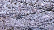 満開の桜の花 強い風に散る花びら 川面の花びら ソメイヨシノ 春 日本