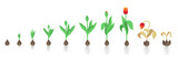 Fototapeta Tulipany - Tulip flower plant. Tulipa gesneriana. Growth stages. Growing period steps. Harvest animation progression. Fertilization phase. Cycle of life. Vector infographic set.