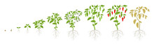 Growth Stages Of Spicy Chili Pepper Vegetable Plant. Ripening Period Steps. Harvest Animation Progression. Fertilization Phase. Vector Infographic Set.