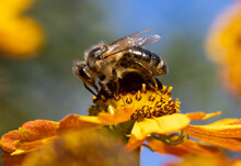 A Honey Bee Collecting Pollen At Stamens In A Flower. A Bee Working On A Garden Flower.