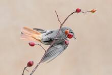 Redstart In Flight On Dog Rose (Phoenicurus Phoenicurus)