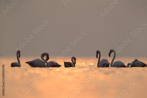 Carta da parati Greater Flamingos and dramatic bokeh of light on water, Asker coast, Bahrain