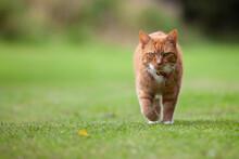 Ginger Tom On The Prowl