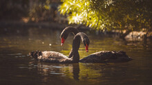 Black Swan On Body Of Water