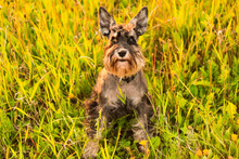 Beautiful Portrait Of Miniature Schnauzer In The Green Grass. Happy, Cute, Funny Black And White Dog, Pet Walking In A Summer Park. Female Dog With Erect Pointed Ears. Top View.
