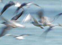 A Slow Shutter Motion Blur Photograph Of Black-headed Gulls Flying At Tubli Bay, Bahrain