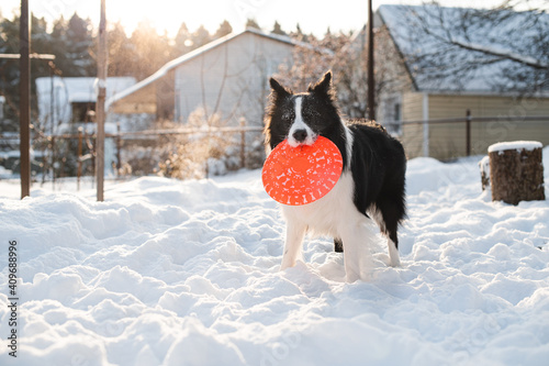 Black and white border collie dog playing with dog frisbee in snow Fotobehang