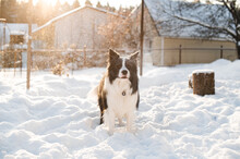 Black And White Border Collie Dog In Snow At Sunny Winter Day