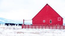 Snow On The Ground On A Farm With A Heard Of Cows And Red Barn