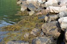 Seaweed Covered Seashore