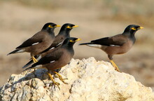 Starlings In A City Park On The Shores Of The Mediterranean Sea In Israel