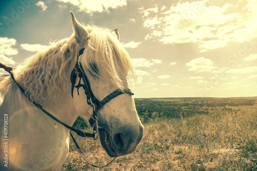 Fototapeta White horse standing at top of a hill with blue sky background. Horse head close up. White speckled horse . Profile of white speckled horse. toned obraz