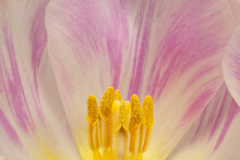 Inside Tulip Flower Head, Extreme Macro View, Copy Space