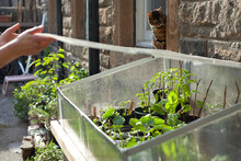 Woman Gardener Checking The Vegetable Plants In The Garden.  Plant Care Of Young Seedlings, All Growing In Recycled Pots In DIY Homemade Greenhouse.