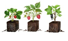 Set Of Seedlings Of Strawberries, Raspberries And Currants In A Fertile Soil With Roots, A Clod Of Earth And A Sprout, A Growing Concept. Eco-soil Substrate, Hand-drawn, Isolated On A White Background
