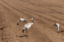 Eurasian Crane In An Early Autumn Morning In A Plowed Field Near Agamon Hula, Israel.