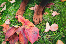 Close-up Of Amazing Dog Paws On The Grass Surrounded With Autumn Colorful Leaves, Domestic Puppy In The Garden