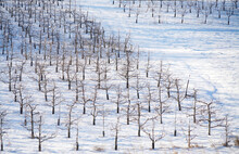 Apple Orchard In Winter After Snow