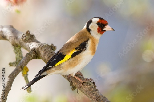 Fotografia, Obraz The Goldfinch (Carduelis carduelis) on the tree branch