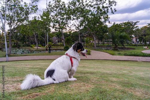 Japanese Spaniel dog sitting on grass lawn at beautiful park Fototapet