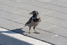 The Hooded Crow On A Sidewalk.