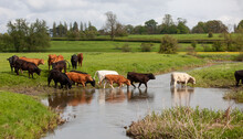 Cattle Crossing The River