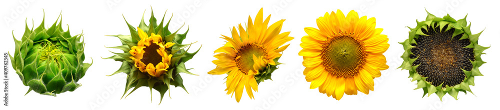 Fototapeta Collection of sunflower flowers in different stages of growth