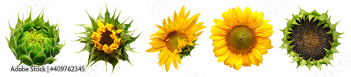 Collection of sunflower flowers in different stages of growth