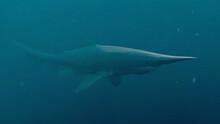 Goblin Shark (Mitsukurina Owstoni), 3D Rendered