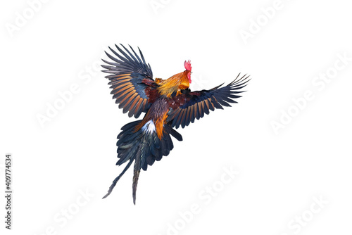 Red jungle fowl flying isolated on white background Fotobehang