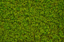 Green Moss On A Wall