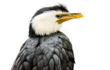 Isolated Onn White Background, Portrait Of Little Pied Cormorant, Microcarbo Melanoleucos, Black And White Water Bird, Native To  Australia, New Guinea, New Zealand.