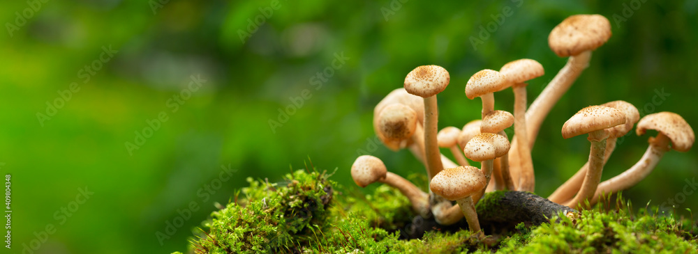 Fototapeta Edible mushrooms in a forest on green background