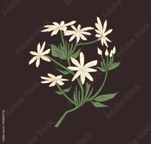 Fototapeta Star-shaped white jasmine flowers with eight petals