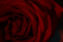 Closeup Of Beautiful Red Rose On Dark Background