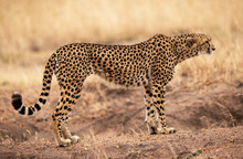 Selective Focus Of A Majestic Cheetah Standing On A Dirt Moun In The Safari