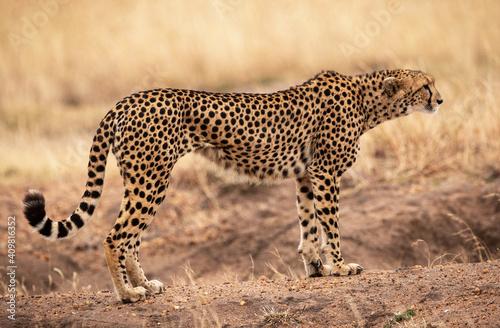 Fotografie, Tablou Selective focus of a majestic cheetah standing on a dirt moun in the safari