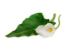 White Calla Lily With Leaf