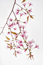 Prunus Cerasoides Flower, Wild Himalayan Cherry Plants, Isolated On White Background