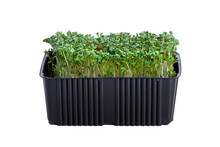 Microgreens In A Plastic Container On A White Background. Young Sprouts Of Greens And Seeds