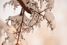 A Branch In The Snow And Melting Icicles. Close-up. Selective Focus. Thaw.