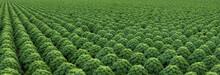 Kale. Field Of Kale. Vegetables. Noord Holland Netherlands. Agriculture. Open Ground Vegetables. Panorama.